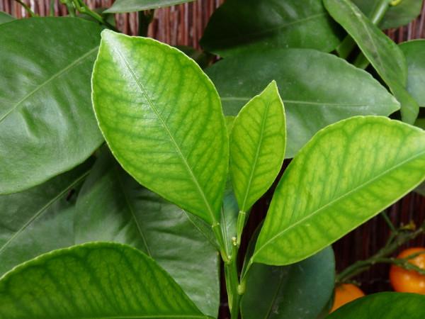 Zitruspflanzen - Krankheiten und Schädlinge
