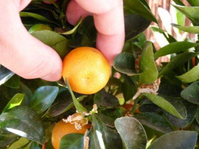 Zitruspflanzen im Kübel anbauen und pflegen 2