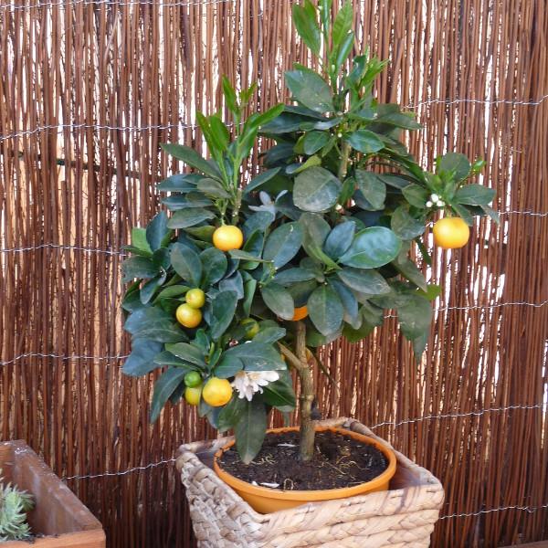 Zitruspflanzen im Kübel anbauen und pflegen