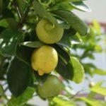 Zitruspflanzen - vermehren aus Samen und Stecklingen
