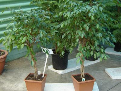 Birkenfeige, Ficus benjamini - Pflege, Krankheiten, Schädlinge