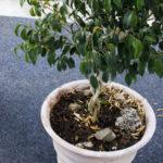 Birkenfeige verliert Blätter - die 5 häufigsten Ursachen
