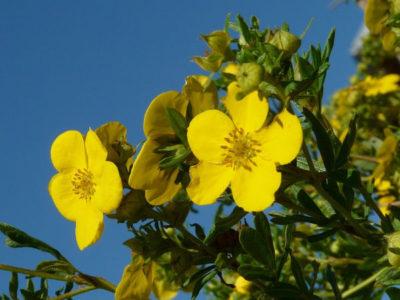 Blühende Sträucher, die von Frühling bis Herbst blühen – Fingerstrauch