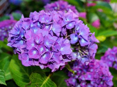 Blühende Sträucher, die von Frühling bis Herbst blühen – Hortensie