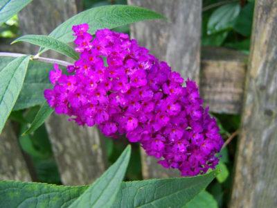 Blühende Sträucher, die von Frühling bis Herbst blühen – Schmetterlingsflieder