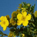 Blühende Sträucher, die von Frühling bis Herbst blühen