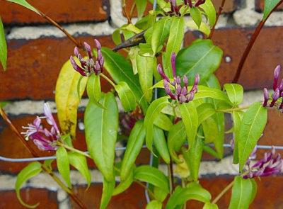Blühende Sträucher, die von Frühling bis Herbst blühen - Henrys Geißblatt