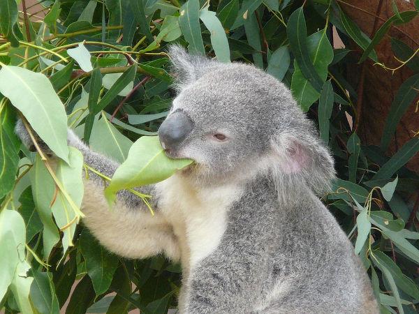 Eukalyptus - pflanzen, vermehren, Arten | Gartentipps