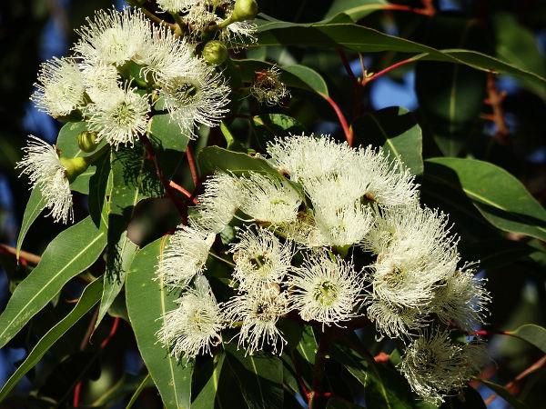 Eukalyptus - pflanzen, vermehren, Arten