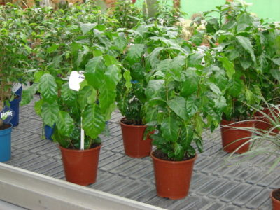 Kaffeepflanze, Kaffee - Pflege, Anbau im Topf