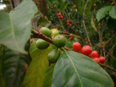 Kaffeepflanze, Kaffee - Pflege, Anbau im Topf - samen