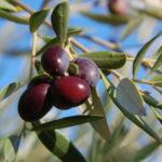 Olivenbaum, Olivenbäumchen - pflegen, vermehren, Krankheiten
