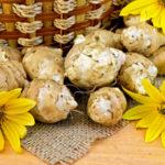 topinambur-pflanzen-wirkung-rezepte