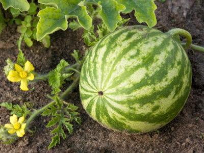 Wassermelone - Sorten, pflanzen, pflegen