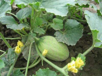 melonen-arten-pflanzen-naehrwerte
