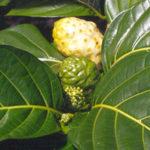 Noni Frucht, Noni Beere - im Topf anbauen