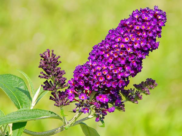 Sommerflieder, Schmetterlingsflieder - pflanzen, Sorten, pflegen
