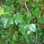 Gemeiner Efeu Hedera helix - pflanzen, Sorten, vermehren