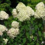 Rispenhortensie - Sorten, pflanzen, schneiden