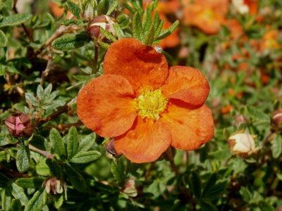 Fingerstrauch - Sorten, pflanzen, schneiden, vermehren 2