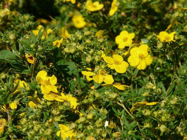 Fingerstrauch - Sorten, pflanzen, schneiden, vermehren