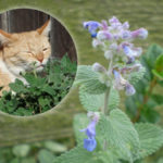 Katzenminze - pflanzen, Sorten, vermehren