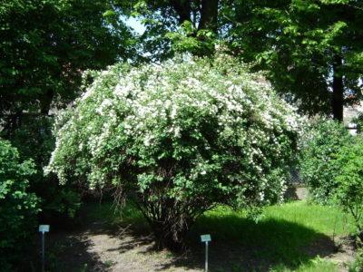 Spierstrauch - Sorten, pflanzen, vermehren 2