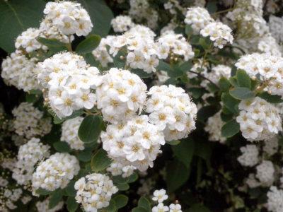 Spierstrauch - Sorten, pflanzen, vermehren