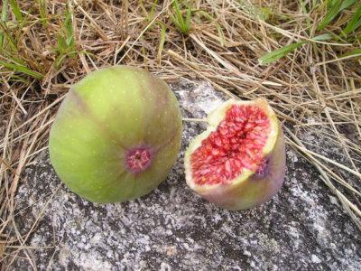 Feigenbaum, Feige - im Garten oder im Kübel pflanzen 3