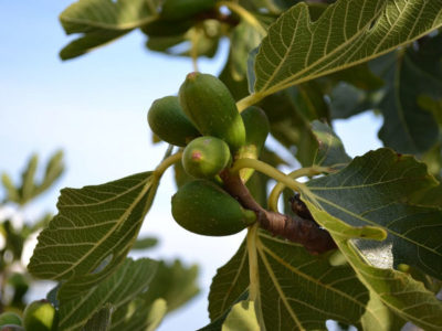 Feigenbaum, Feige - im Garten oder im Kübel pflanzen