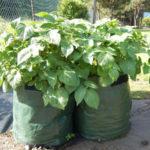 Kartoffelanbau im Sack
