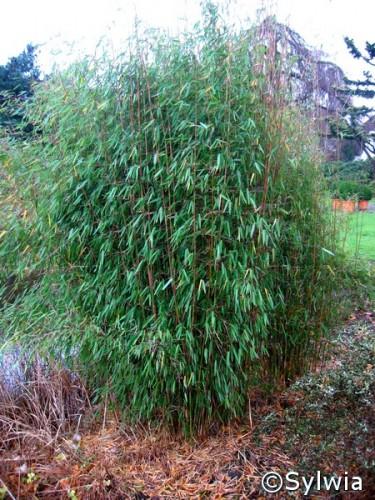 jade bambus fargesia jiuzhaigou 39 1 39 pflanzen enzyklop die. Black Bedroom Furniture Sets. Home Design Ideas