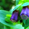 Große Wachsblume 'Purpurascens'