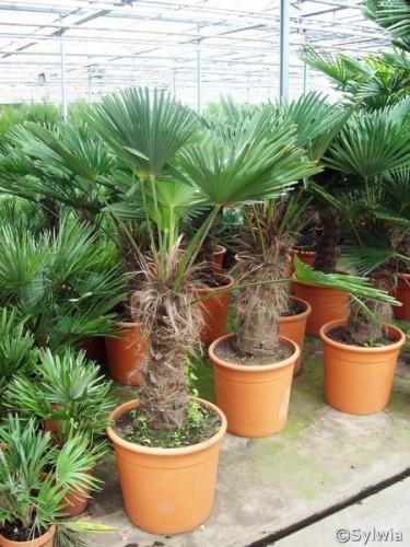 Wagners Hanfpalme Trachycarpus Wagnerianus Pflanzen Enzyklopadie