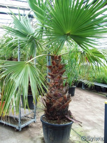 Top Mexikanische Fächerpalme (Washingtonia robusta) | Pflanzen #SJ_14
