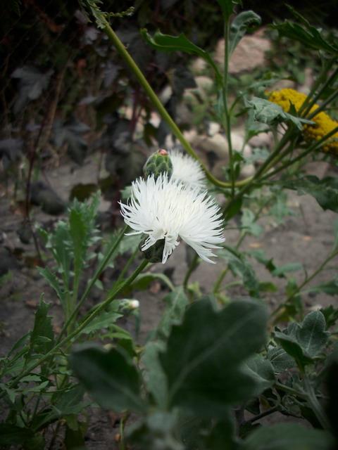 Große Duftflockenblume