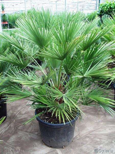 Chamaerops humilis - Schattige zimmerpflanzen ...