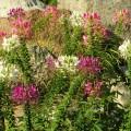 Dornige Spinnenblume