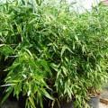 Schwarzer Knospen Bambus