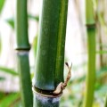 Rauher Gelbrinnen-Bambus