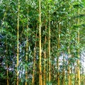 Goldener Peking Bambus Aureocaulis