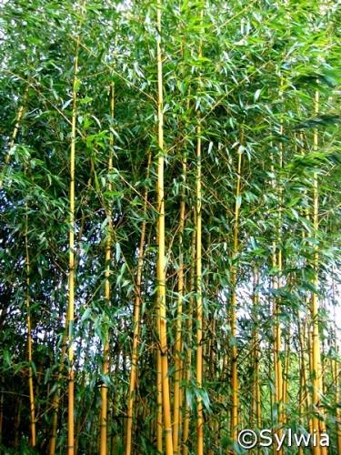 Goldener Peking Bambus Phyllostachys Aureosulcata Aureocaulis