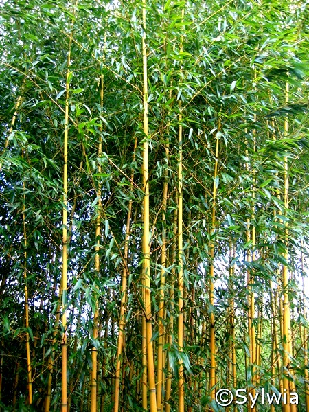 phyllostachys aureosulcata aureocaulis. Black Bedroom Furniture Sets. Home Design Ideas