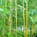 Spectabilis Bambus Spectabilis