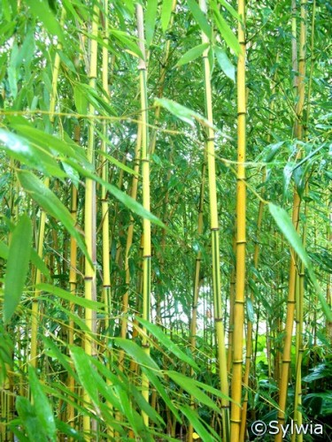 spectabilis bambus phyllostachys aureosulcata. Black Bedroom Furniture Sets. Home Design Ideas