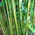 Bisset Bambus