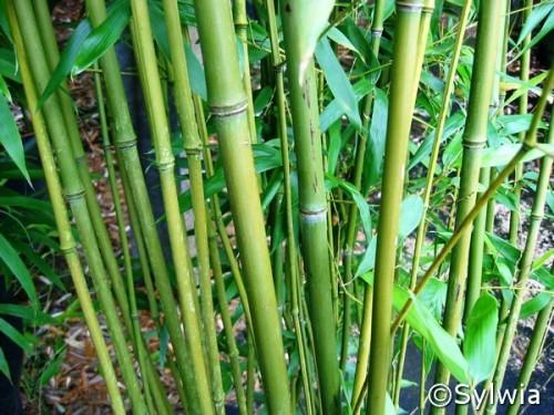 Bisset Bambus Phyllostachys Bissetii Pflanzen Enzyklopädie