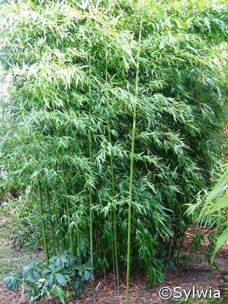 Bronze Bambus
