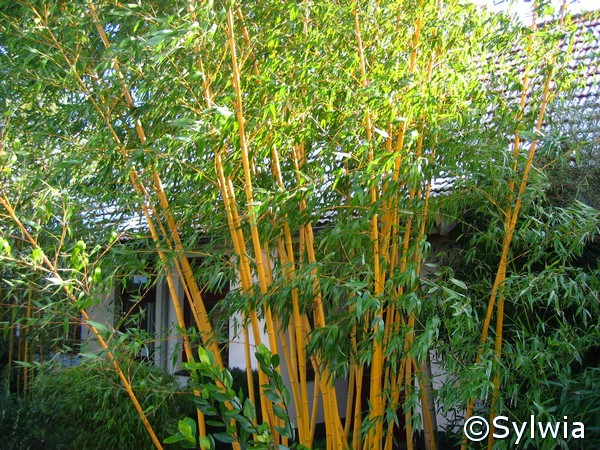 phyllostachys vivax aureocaulis. Black Bedroom Furniture Sets. Home Design Ideas
