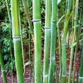 Gelber Furchen Bambus Huangwenzhu